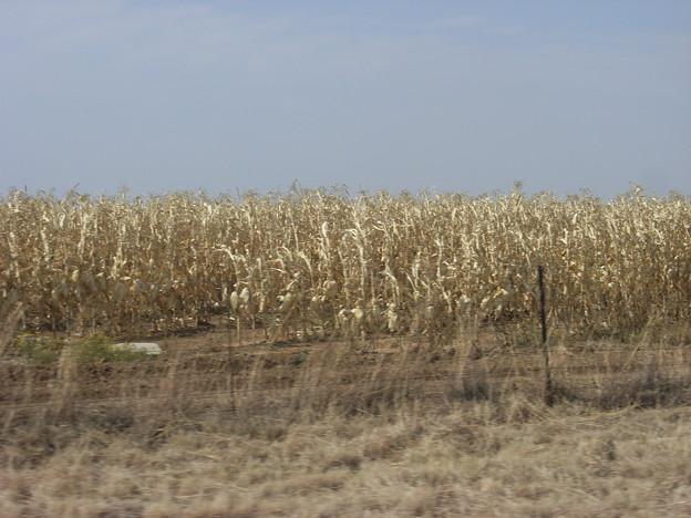 フリーステート トウモロコシ畑