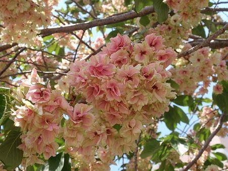 鬱金桜  5月3日