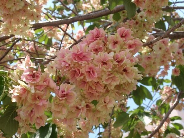 写真: 鬱金桜  5月3日