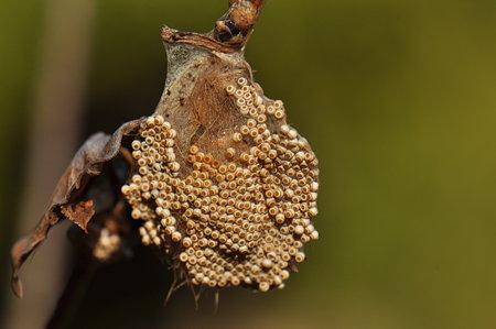 ドクガ科 ヒメシロモンドクガの卵