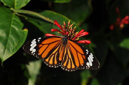 タテハチョウ科 スジグロカバマダラ