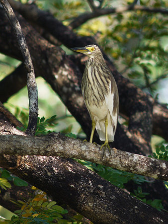 アカガシラサギ(Chinese Pond-heron) P1070357_R