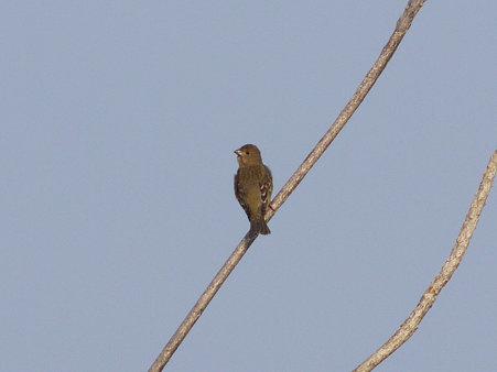 アカマシコ♀?(Common Rosefinch) P1080552_R