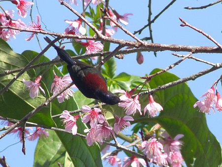 ムナグロタイヨウチョウ(Black-throated Sunbird) P1120981_R