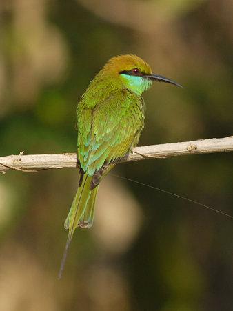 ミドリハチクイ(Green Bee-eater) P1020337_R