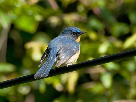 ミヤマヒメアオヒタキ(Hill Blue Flycatcher) IMGP102002_R2