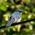 Photos: ミヤマヒメアオヒタキ(Hill Blue Flycatcher) IMGP102002_R2