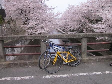 桜に自転車