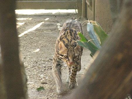 オセロット@よこはま動物園ズーラシア