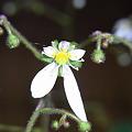 写真: ユキノシタの花 2012-1