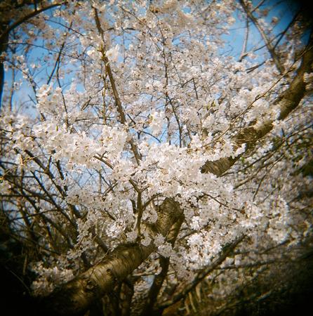 Cherry_blossom04162011holga_portra400vc01