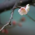 Photos: 梅が咲き始めました