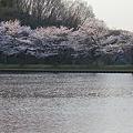 独り占めの桜並木