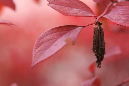 ブルベリーの紅葉と蓑虫!(@_@;)