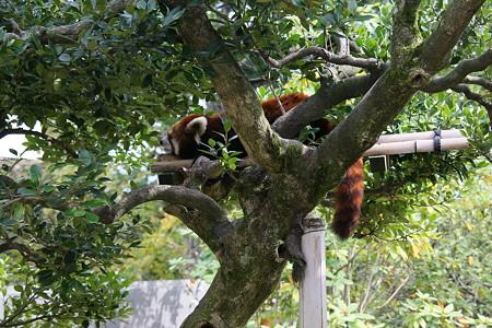 お昼ね  レッサーパンダ