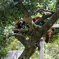写真: お昼ね  レッサーパンダ