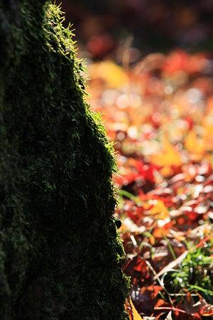 東福寺  木の苔と紅葉