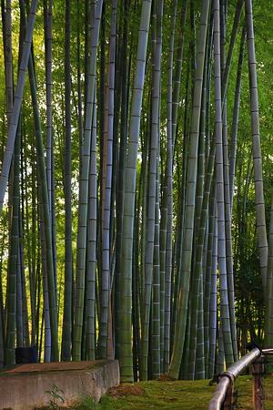 高台寺「竹林」 まっすぐ伸びて! 縦画像