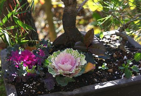 葉牡丹(2) 寄せ植えを作りました。(*^-^)ニコ