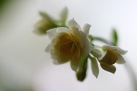 バラのように(1) 八重のカランコエ開化!=*^-^*=にこっ♪