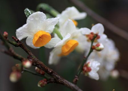 水仙と白梅 春のコラボ (o^∇^o)