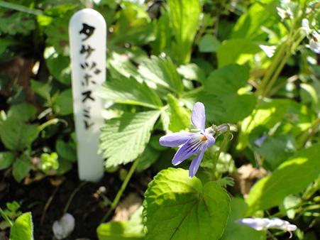 立坪菫(タチツボスミレ)
