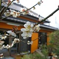 Photos: 水戸の梅