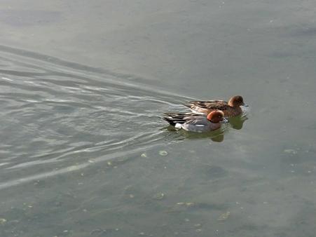 20100123 谷津干潟 ヒドリガモペア