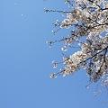 Photos: 多摩川沿いの桜14