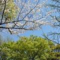 Photos: 稲毛神社の桜4