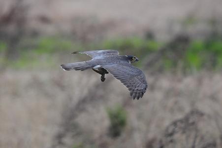 オオタカ(成鳥)