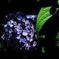 写真: オタフク紫陽花 6