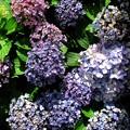 写真: オタフク紫陽花 7
