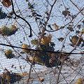 写真: 朽ちたキカラスウリの実