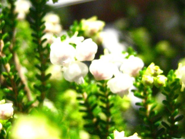 スズランエリカの花4