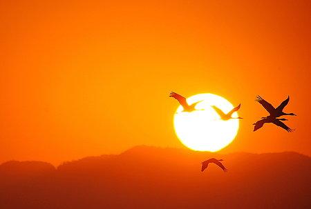 夜明けの太陽に向かって飛ぶ~~(出水の鶴サン達♪)