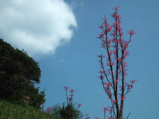 青空に映えるハゼの新芽