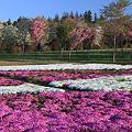 Photos: 芝桜の美々しさ