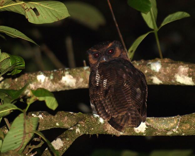 オオフクロウ Brown Wood Owl