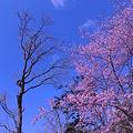 兜沼公園(蝦夷山桜)