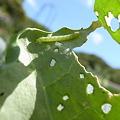 Photos: ブロッコリー収穫7