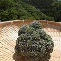 Photos: ブロッコリー収穫