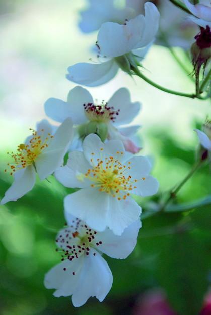 Multiflora Rose 7-11-09