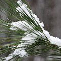 写真: Snow on Pine 12-7-08