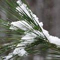 Snow on Pine 12-7-08