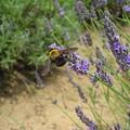 Photos: クマバチとラベンダー 千葉市花の美術館