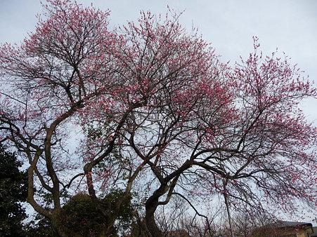 100120-6.西福寺の梅 (4)