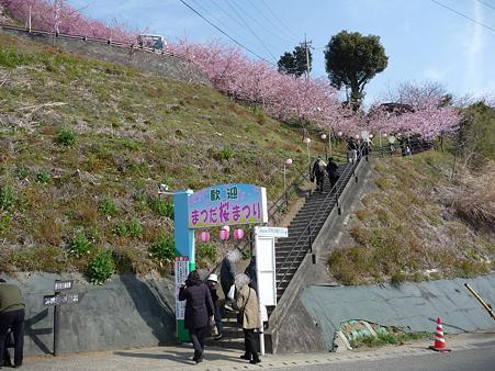 100223-松田山 河津桜 (14)