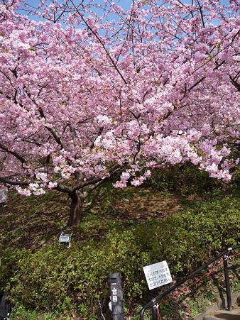 100223-松田山 河津桜 (19)