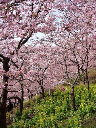 100223-松田山 河津桜 (26)